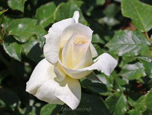 花径12cm程の白色バラ