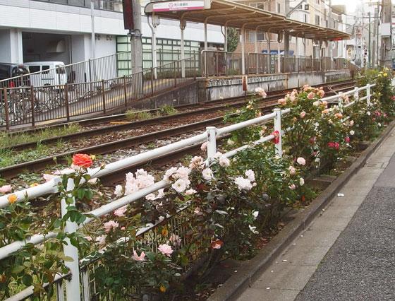 沿線に咲くバラの花