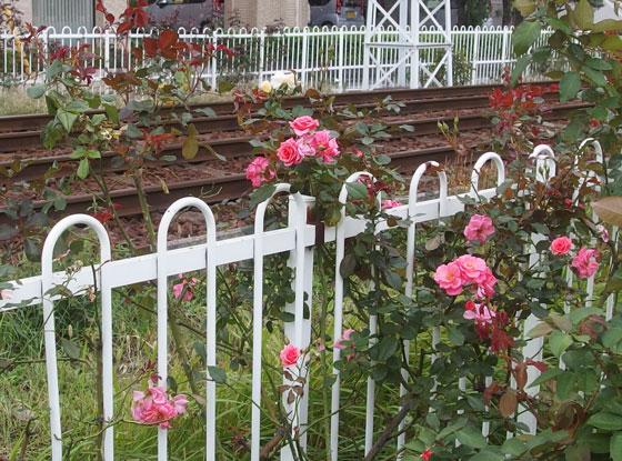 沿線に咲くバラ