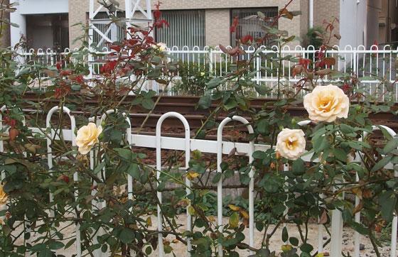 線路の側に咲くバラ
