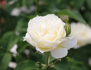 グランディフローラ系統の白色バラ