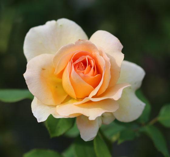 生田緑地ばら苑に咲く秋バラ