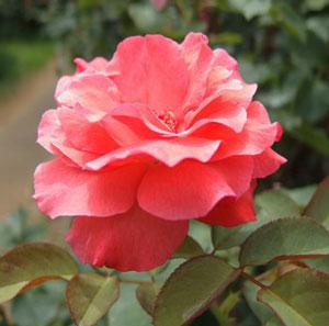 アーティストリーは赤色のバラ