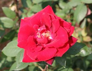 ブラックバッカラは赤色バラ