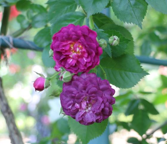 ブルーマジェンタは赤紫色のバラ