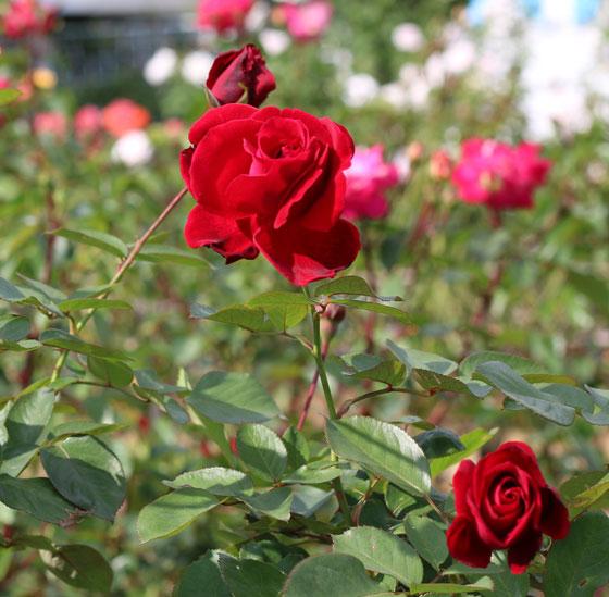 生田緑地ばら苑の秋バラ