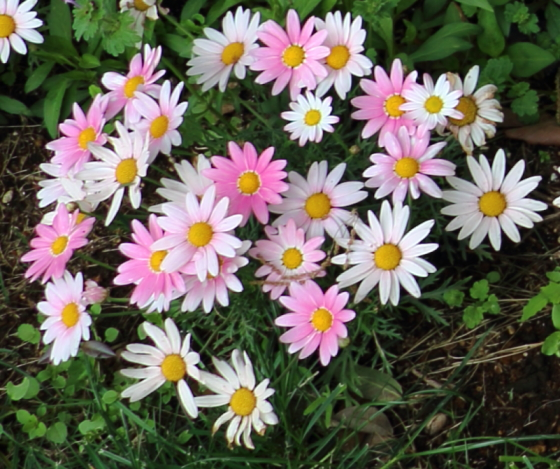 ノースポールは冬に育てる花