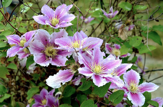 クレマチスは冬に育てる花