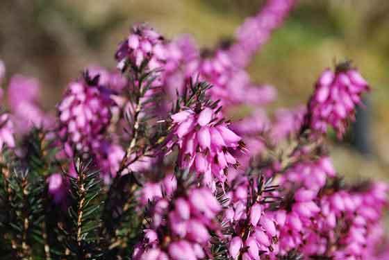 エリカは冬の花です