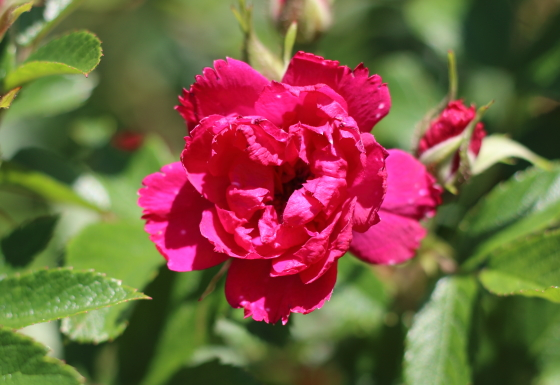 ハイブリッド・ルゴサ系統のつるバラ