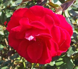 フランクリースカーレットは赤色のバラ