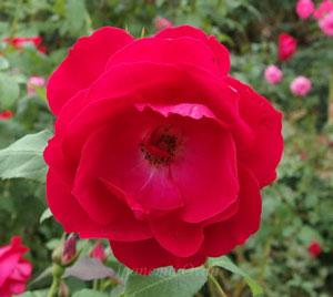 イングリッドウェイブルは赤色のバラ