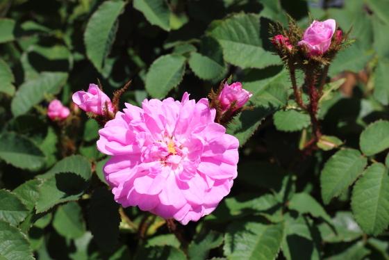 ジェームスミッチェルはローズピンク色のバラ