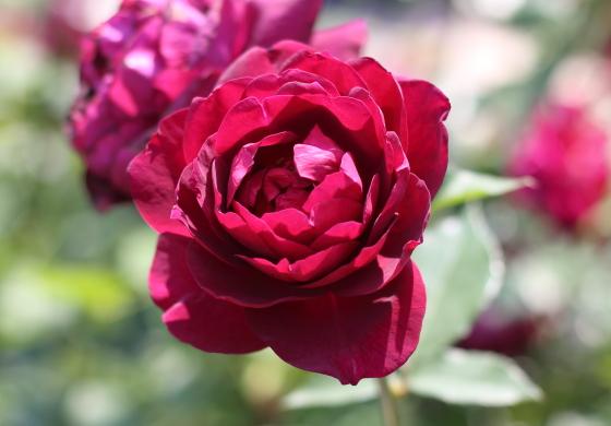 赤紫色のバラ