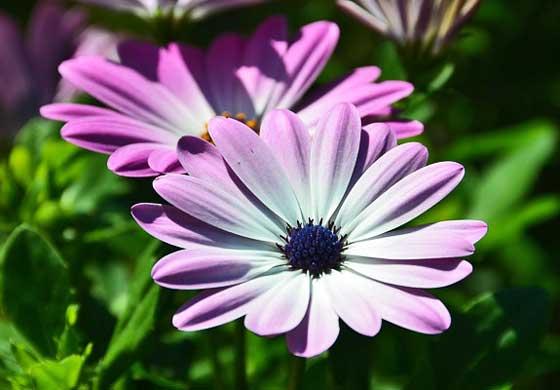 オステオスペルマムは春に咲く