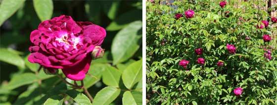 カーディナルドゥリシュリューは青紫色のバラ