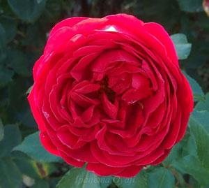 ジークフリートは赤色のバラ