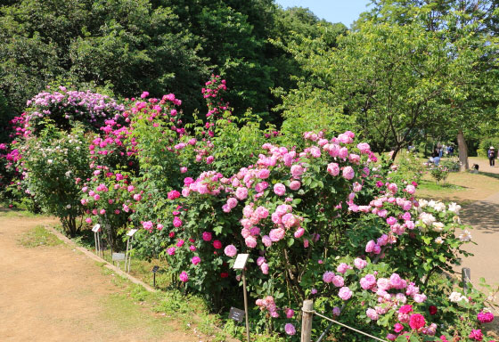 京成バラ園の春バラ