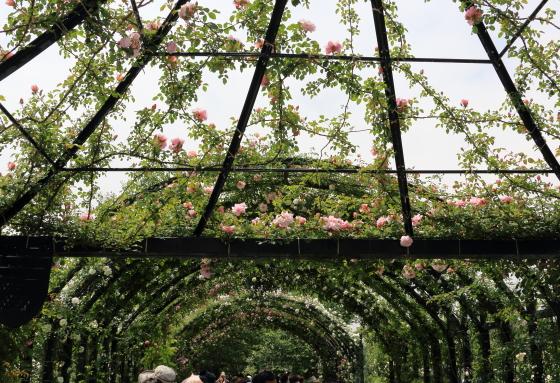 横浜イングリッシュガーデンの春バラ