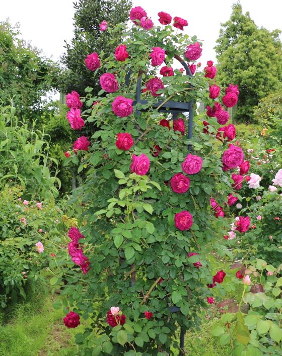 キアンチはロゼット咲きです