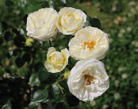 クラレンスハウスはムスク系の芳香がある
