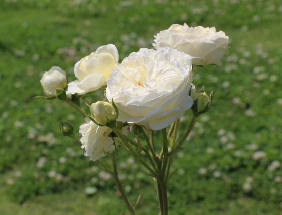 クラレンスハウスはクリーム色のバラ
