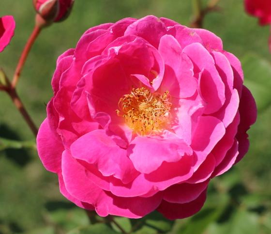 シベールはローズピンク色のバラ