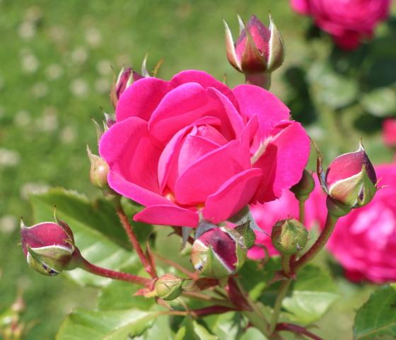 シベールはロゼット咲き