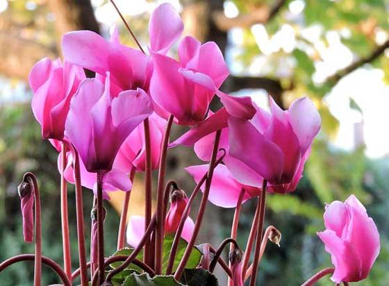 シクラメンは開花期が長い花