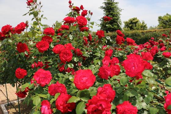 イタリアで作出されたバラ
