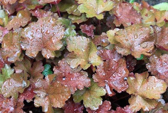 ヒューケラは寒さに強い花