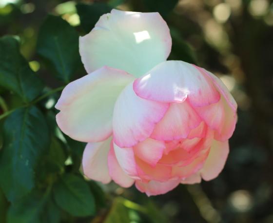 フランスで作出されたバラ