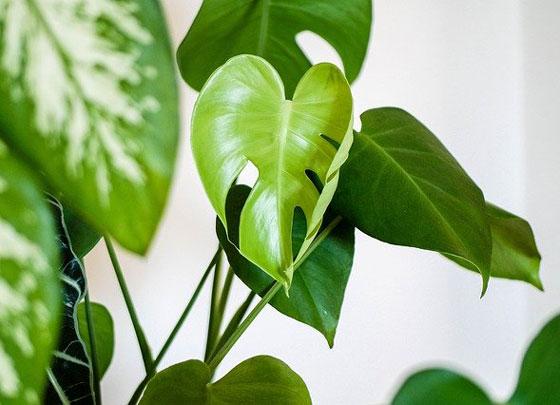 モンステラは観葉植物