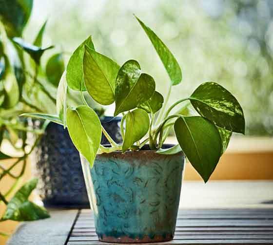 ポトスはつる性の植物