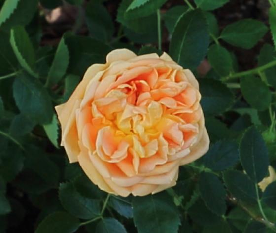 ソレイユ・ドールは黄色バラ
