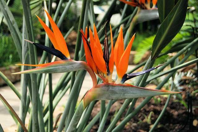 ストレリチアは観葉植物