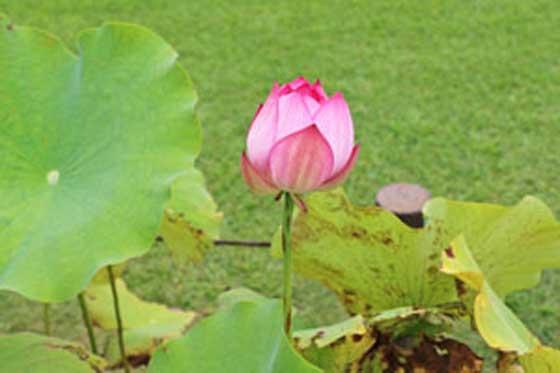 水生植物は温室で育つ
