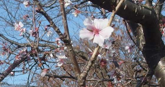 冬に咲く桜の花