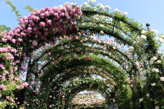 春のバラ園風景