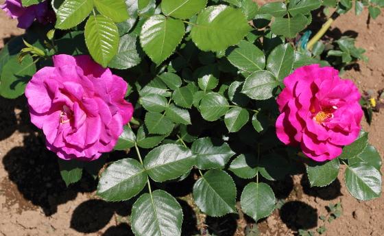 アダムスローズは八重咲きです