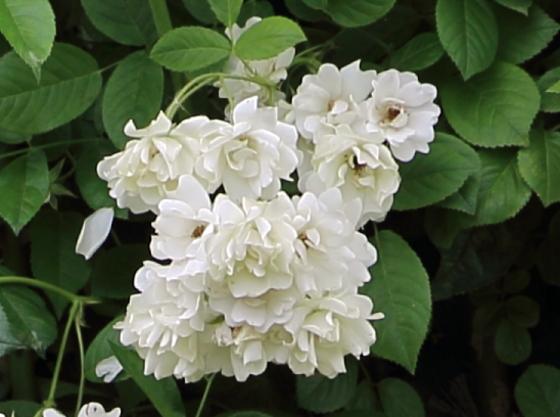 つる性の白色バラ