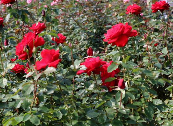 カナスタは四季咲き性です