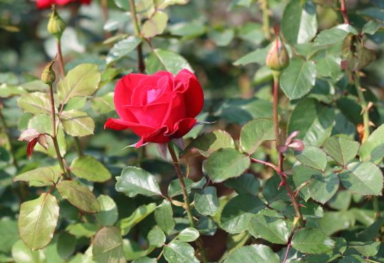 カナスタは大輪咲き