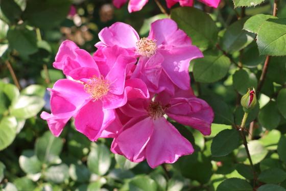 ジェントルアニーはローズピンク色のバラ