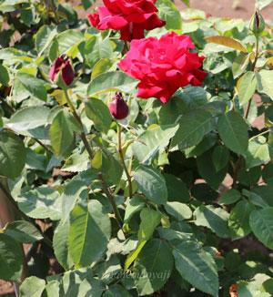 ジョッセルフェルトは赤色のバラ