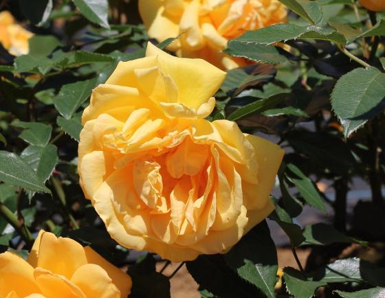 ゴールデンビューティは黄色バラ