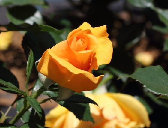 四季咲き性のバラです