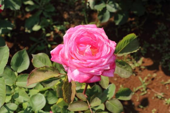 花山吹は四季咲きです