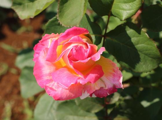 花山吹は半剣弁咲き