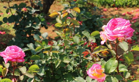 花山吹はローズピンク色のバラ